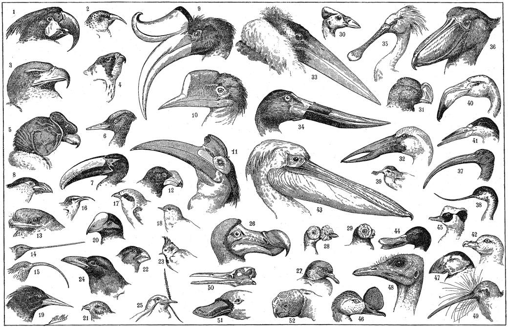 Avian Bills