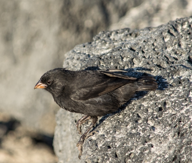 Small ground finch in the sun
