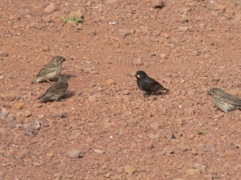 A flock of finches foraging on the ground