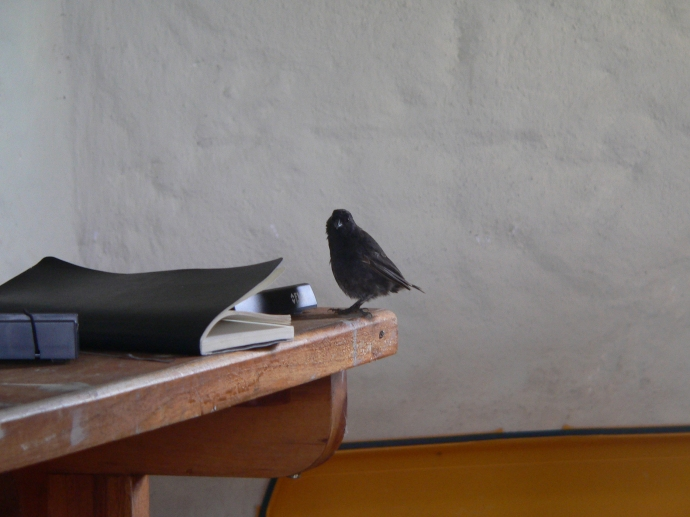 My harshest critic. A small ground finch visited my desk one day to read my journal.